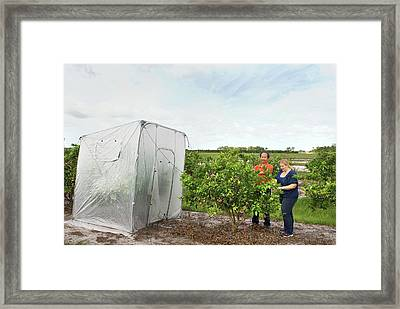 Citrus Greening Disease Treatment Framed Print by Marco Pitino/us Department Of Agriculture