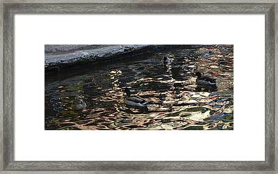 City Ducks 2  Framed Print by Shawn Marlow