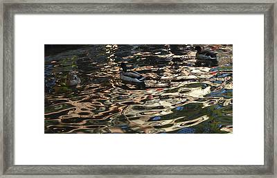 City Ducks 3 Framed Print by Shawn Marlow