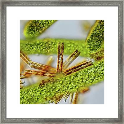 Cladophora Filaments Framed Print by Gerd Guenther