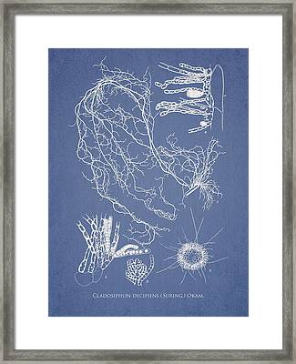 Cladosiphon Decipiens Framed Print by Aged Pixel