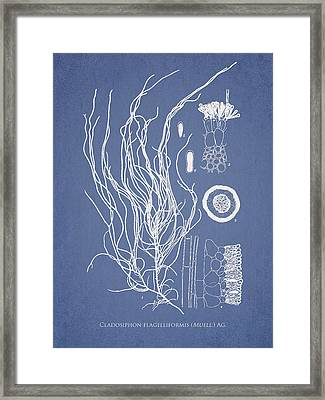Cladosiphon Flagelliformis Framed Print by Aged Pixel