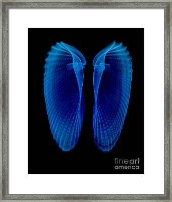 Clam Shells X-ray Framed Print by Bert Myers