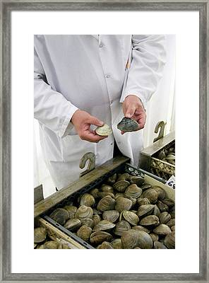 Clams Before And After Cleansing Framed Print by Food & Drug Administration