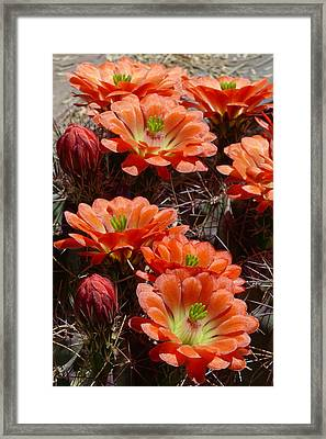 Framed Print featuring the photograph Claret Cup Hedgehog by Cindy McDaniel
