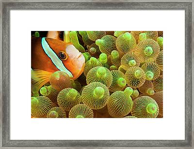 Clark S Anemonefish  Amphiprion Clarkii Framed Print