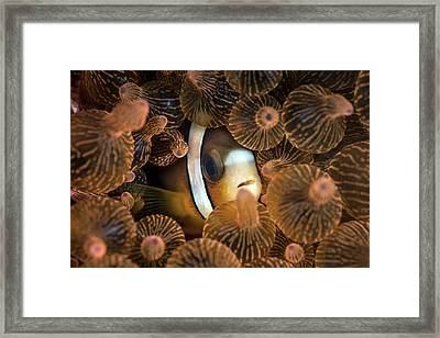 Clark's Anemonefish Framed Print by Ethan Daniels