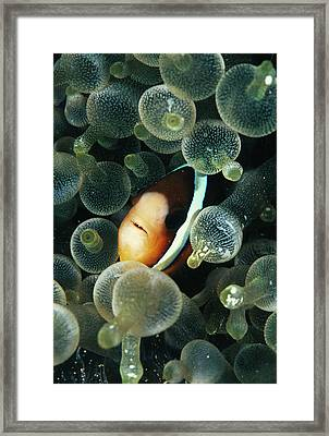 Clark's Anemonefish Framed Print by Matthew Oldfield/science Photo Library
