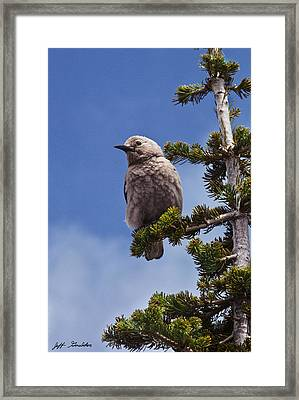 Clark's Nutcracker In A Fir Tree Framed Print