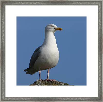 Classical Seagull Framed Print by Karo Evans