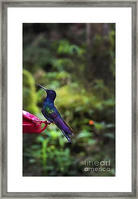 Classy Mindo Hummingbird Framed Print by Al Bourassa