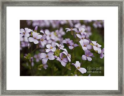 Framed Print featuring the photograph Claude's Aubrieta by Sandi Mikuse