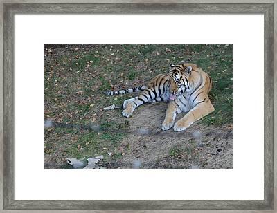Clean Tiger Framed Print