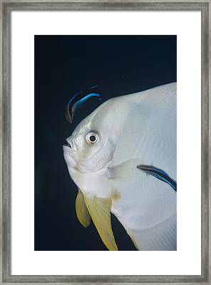 Cleaner Wrasse On Batfish Framed Print by Science Photo Library