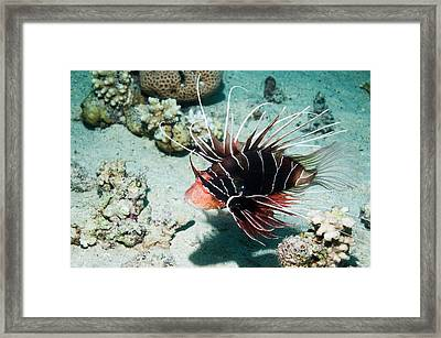 Clearfin Lionfish By A Reef Framed Print