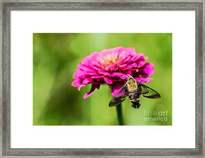 Clearwing Moth Framed Print by Debbie Green