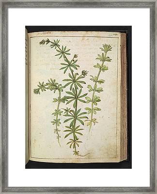 Cleavers (galium Aparine) Framed Print by British Library