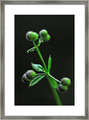 Cleavers (galium Aparine) In Seed Framed Print