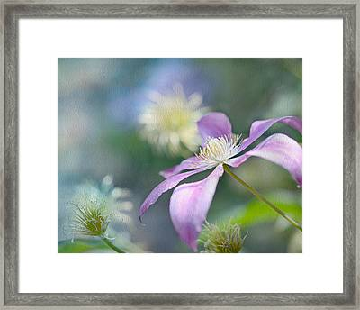Clematis Framed Print by Ann Bridges