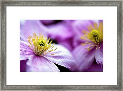 Clematis 'broughton Star' Flowers Framed Print by Ian Gowland