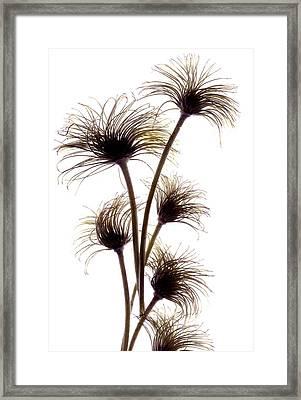 Clematis Buds Framed Print