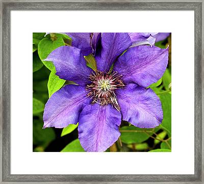 Clematis 'burma Star' Framed Print by Ian Gowland