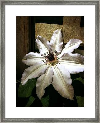 Clematis Climbing Framed Print by Michelle Calkins