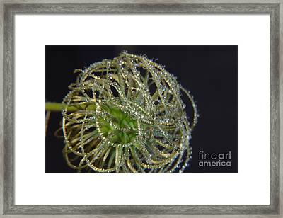 Clematis Close Up With Water Drops Framed Print