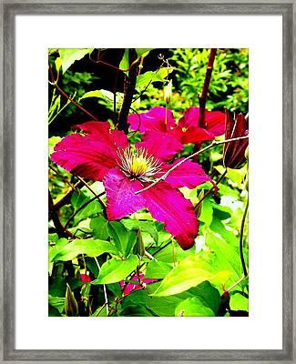 Clematis Framed Print by Dancingfire Brenda Morrell