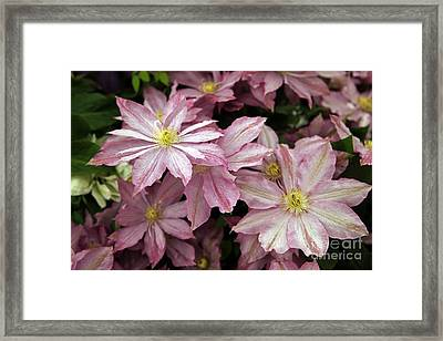 Clematis First Lady Framed Print by Ros Drinkwater