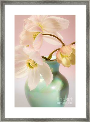 Clematis Flowers 1 Framed Print