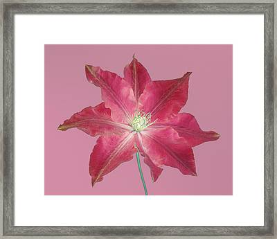 Clematis In Gentle Shades Of Red And Pink. Framed Print by Rosemary Calvert