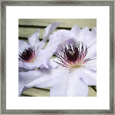 Clematis In Spring Framed Print by Michelle Calkins