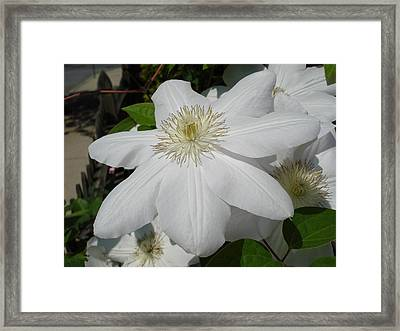 Framed Print featuring the photograph Clematis - Madame Le Coultre by June Holwell