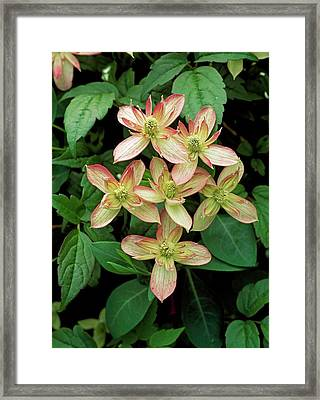 Clematis Montana 'marjorie' Framed Print by Geoff Kidd/science Photo Library