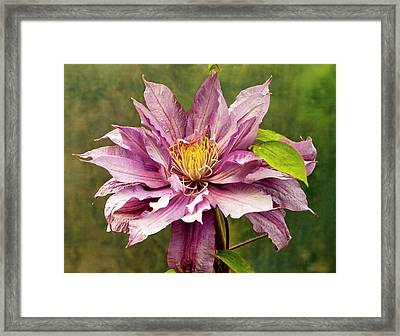 Clematis 'mrs Spencer Castle' Framed Print by Ian Gowland