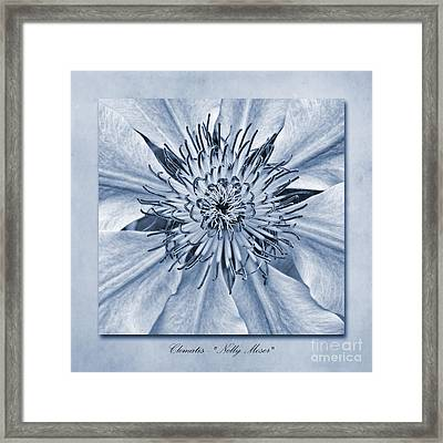 Clematis Nelly Moser Cyanotype Framed Print by John Edwards