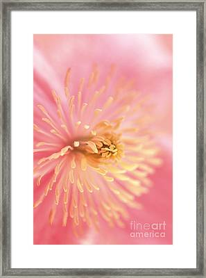Clematis Framed Print by Rebeka Dove