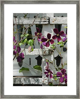 Clematis  Framed Print by Scott Kingery