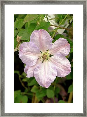 Clematis 'special Occasion' Flower Framed Print by Adrian Thomas