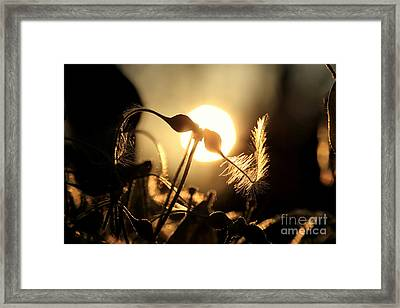 Clematis - Sunset Framed Print by Kenny Glotfelty