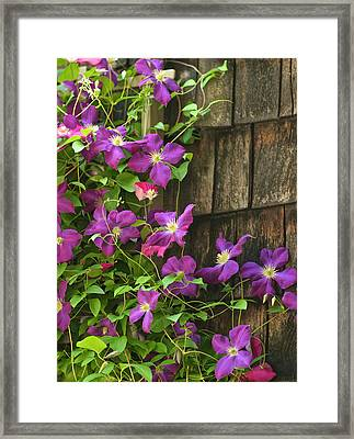 Clemitis On Trellis Framed Print by Gail Maloney