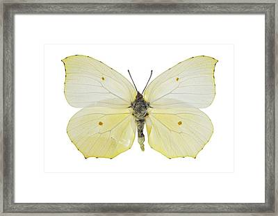 Cleopatra Butterfly Framed Print by Science Photo Library