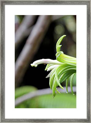 Clermontia Lindseyana Flower Framed Print by Michael Szoenyi