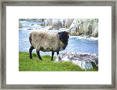 Clew Bay Sheep Framed Print