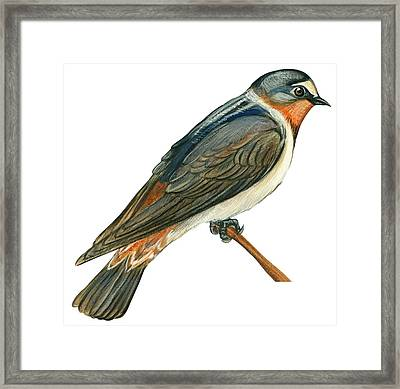 Cliff Swallow  Framed Print by Anonymous