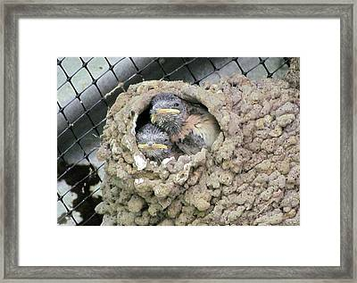 Cliff Swallow Babies Framed Print by I'ina Van Lawick