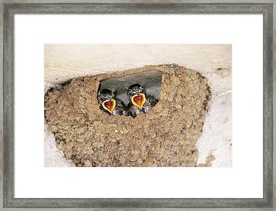 Cliff Swallow Chicks Framed Print by Paul J. Fusco