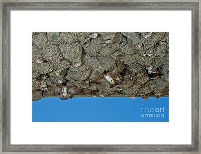Cliff Swallows At Nests Framed Print