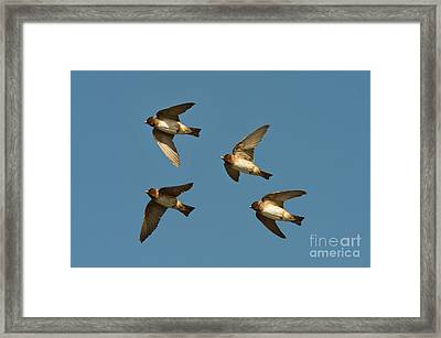 Cliff Swallows Flying Framed Print by Anthony Mercieca